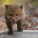 Fox cub close up