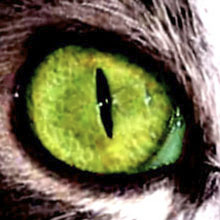 Close up image of an eye with a vertical slit pupil, furred around the outside.