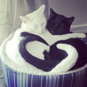 A white cat and a black cat cuddled together in a soft nest where their paws and tails make a heart shape.